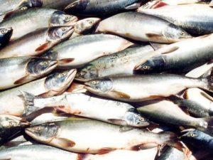 Тухлая рыба, фото пресс-службы МВД Хабаровска
