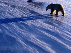 снег, северный полюс, белый медведь, фото с сайта mger2020.ru