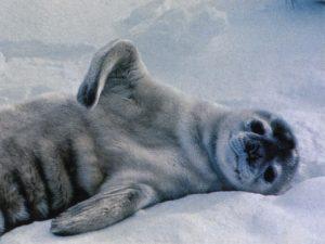 тюлень тюлененок