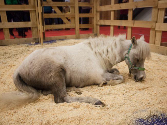 зоофорум зоосфера зоошоу лошадь пони