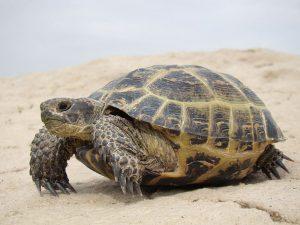 среднеазиатская черепаха, фото Wikipedia