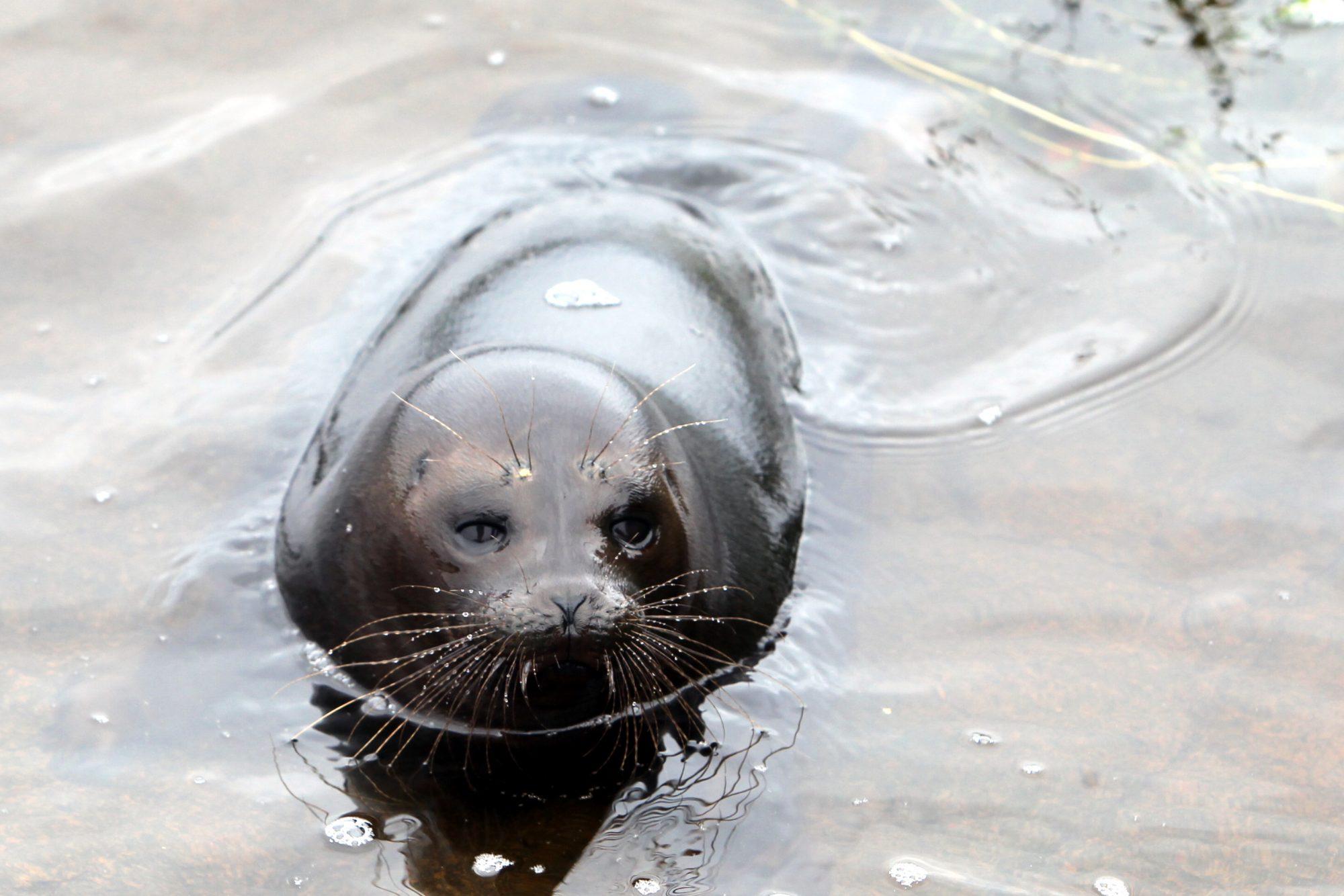 ладожская кольчатая нерпа центр изучения и сохранения морских млекопитающих тюлени ластоногие выпуск