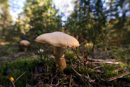 грибы лес остров коневец