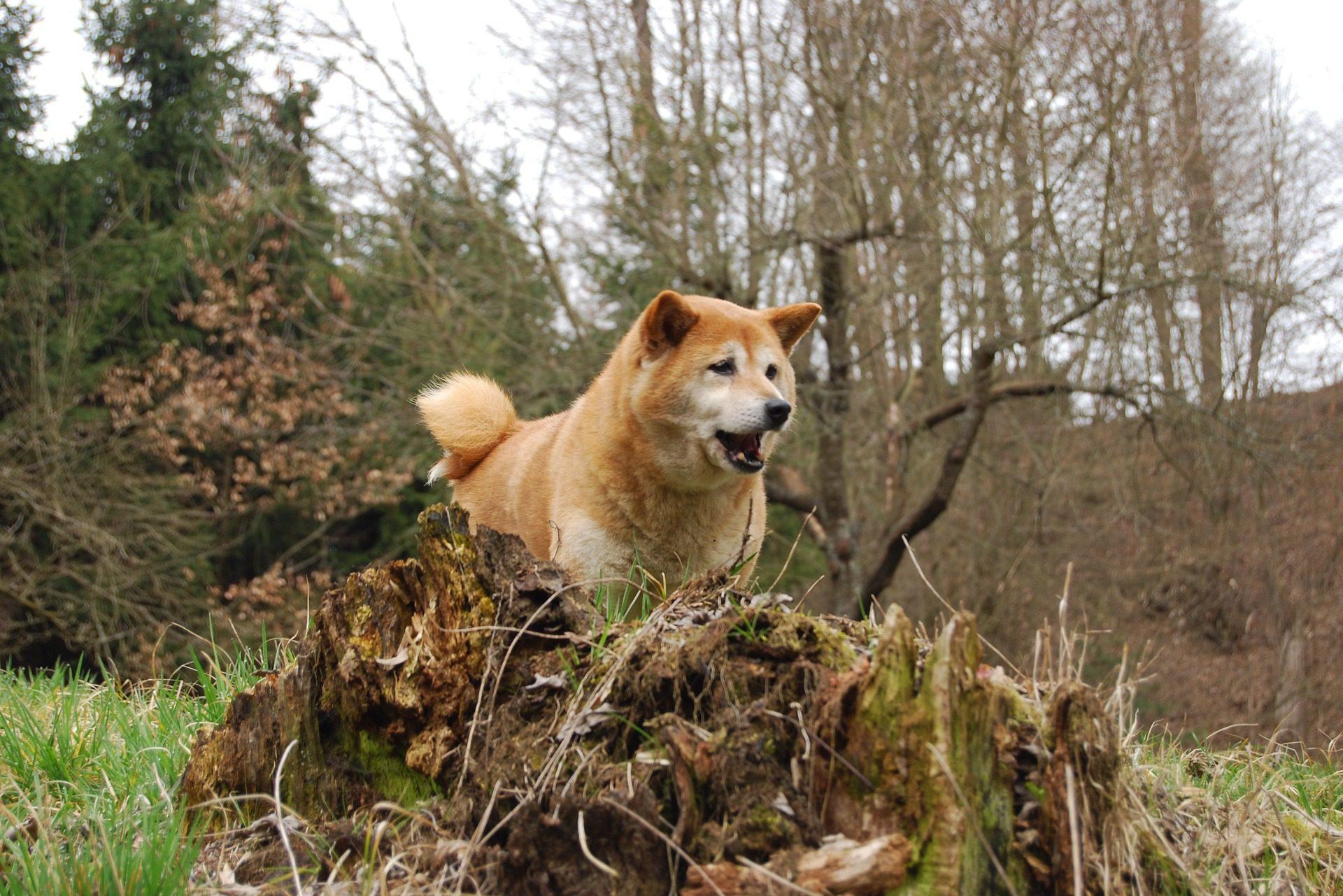 сиба-ину собака в лесу