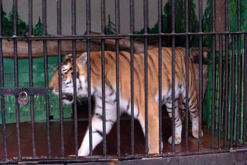 ленинградский зоопарк тигр кошки хищные животные