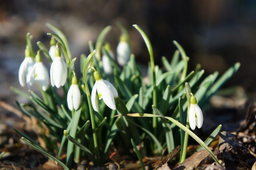 подснежники весна март февраль апрель