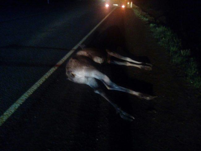 дтп авария киевское шоссе сбитый лось