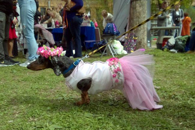 такс-парад таксы собаки костюмы