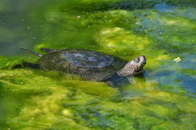 черепаха болотная болото