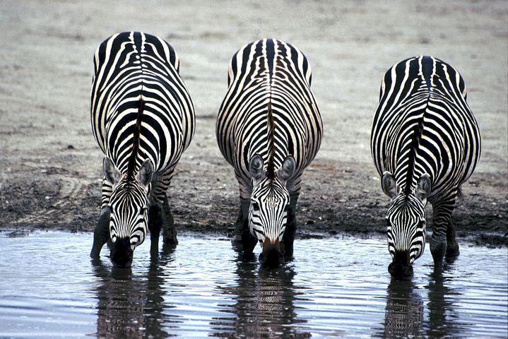 Зебры Африка саванна природа водопой zebras-606867__480