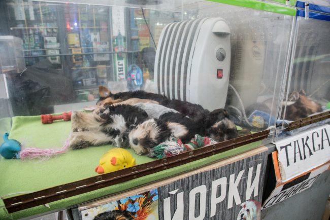 полюстровский рынок йоркширские терьеры собаки щенки