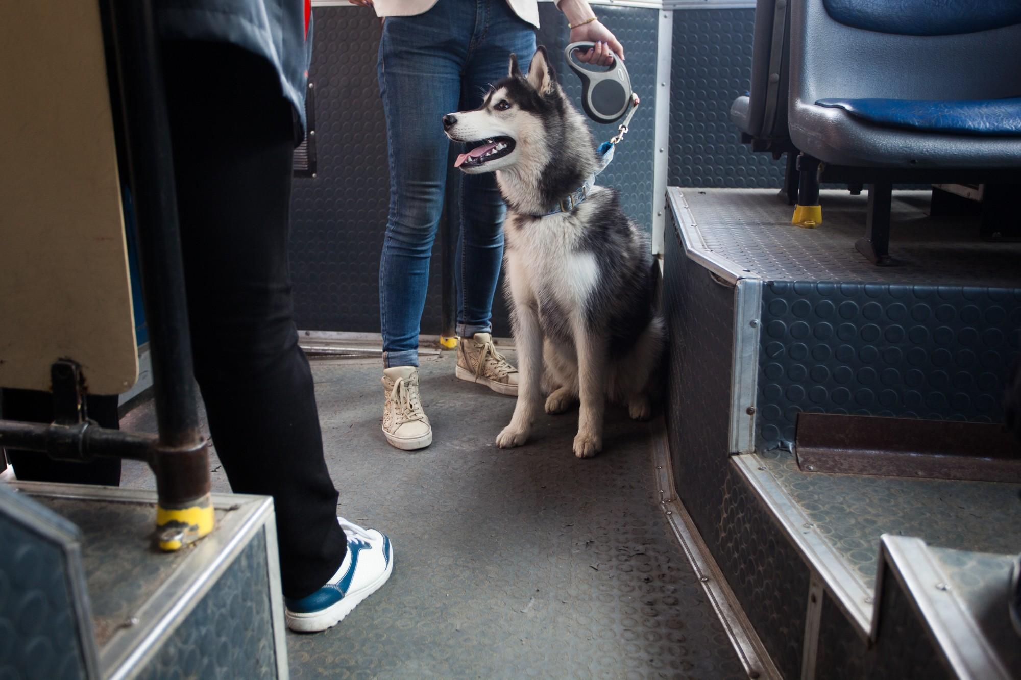 ксюша и хаски собака автобус