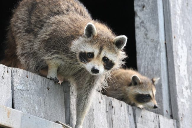 Енотов изконтактного зоопарка вПетербурге отправили накарантин