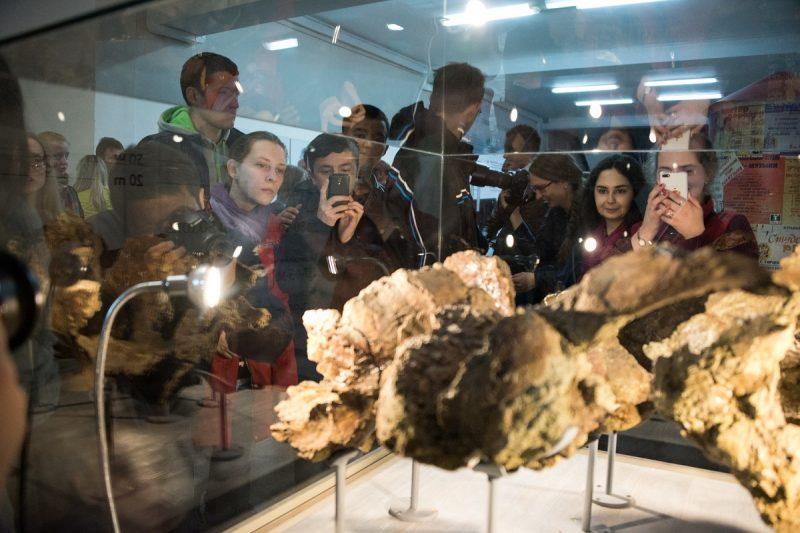кость динозавра сибиротитан ископаемое палеонтология окаменелость музей