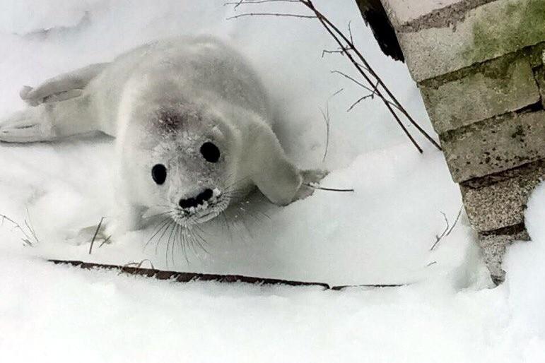 белёк серого тюленя