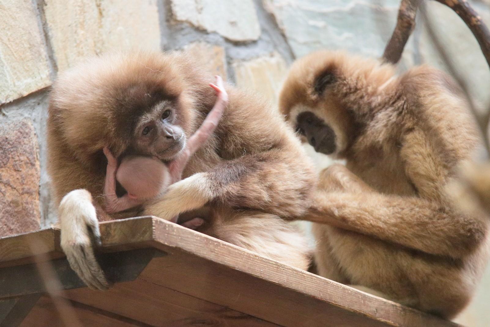 ВЛенинградском зоопарке всемье белоруких гиббонов родился сын