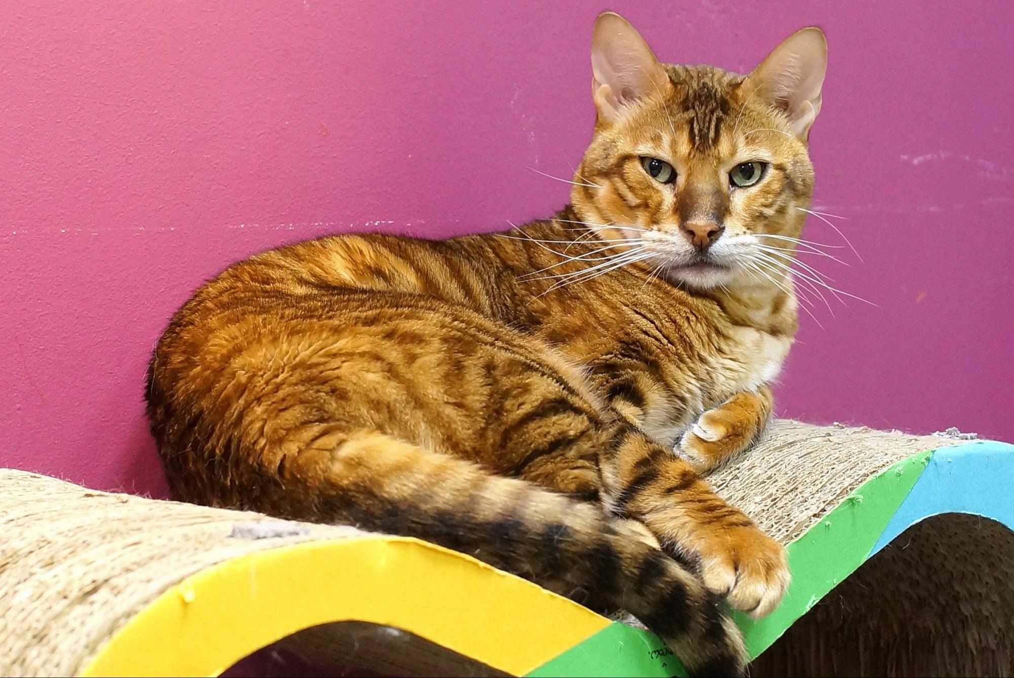 Главой петербургской «Республики кошек» стал Поль Сезанн
