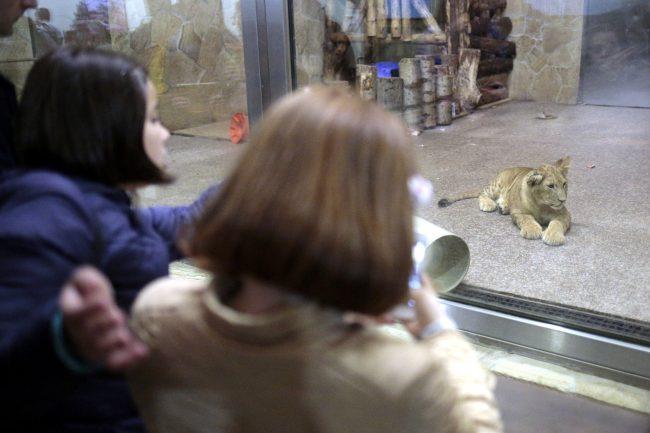 Ночь музеев 2018 зоопарк лёв львёнок львята