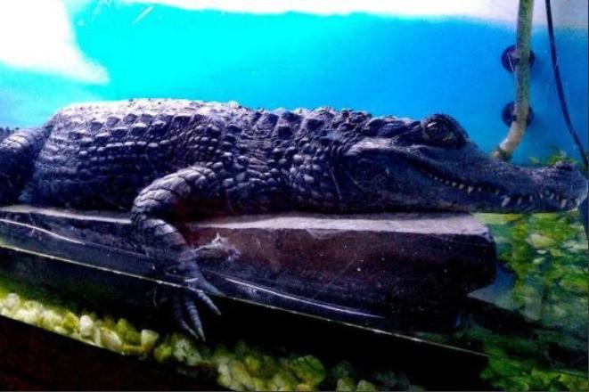 чёрный кайман крокодил рептилия