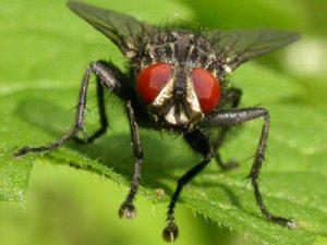 Плодовая муха, фото с сайта mir-nasekomyh.ru