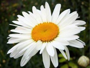 ромашка цветы