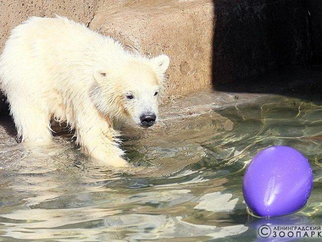 белый медведь медвежонок