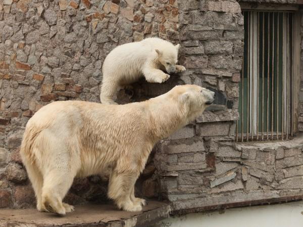белый медведь медведи белые