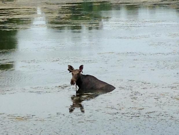 лось в царском селе