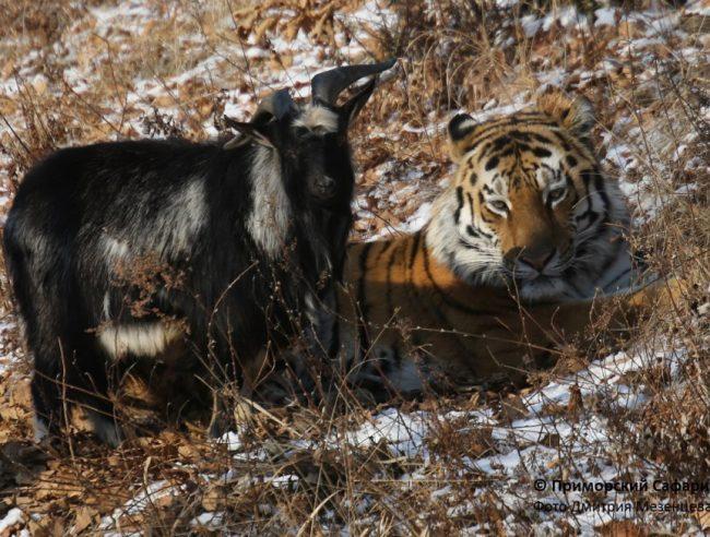 козел и тигр 1