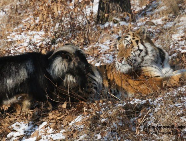 козел и тигр