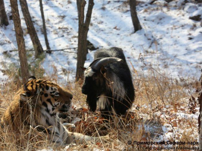 козел и тигр2