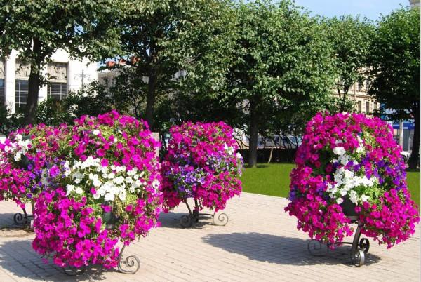 цветы клумбы