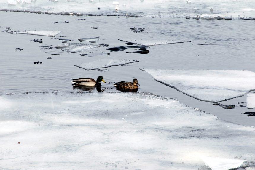 нева лёд ледоход утки весна