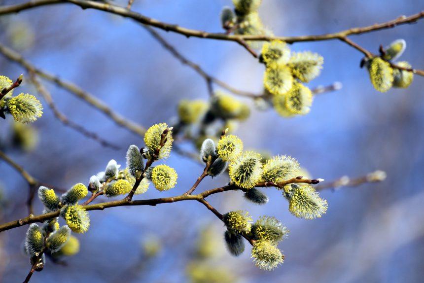 верба цветы весна растение