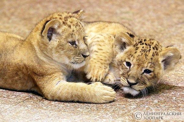 львята львы зоопарк