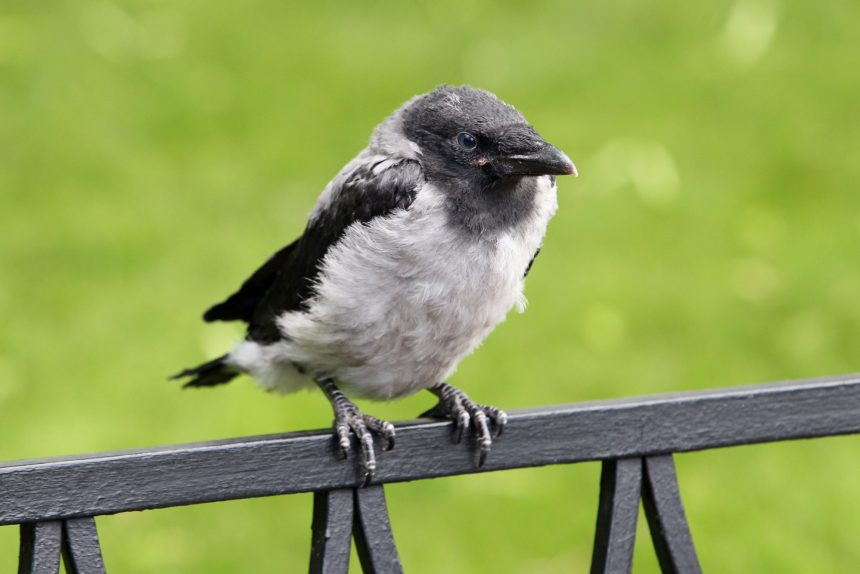 ворона птица птенец михайловский сад