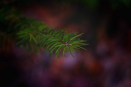 ель, дерево, ветка