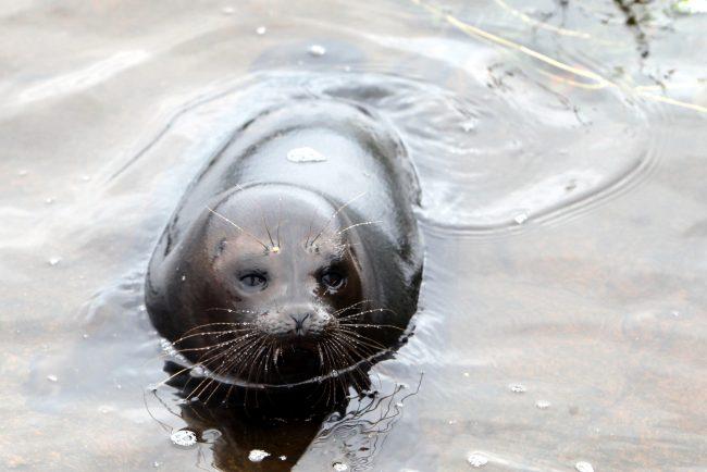Как помочь маленьким нерпам и тюленям