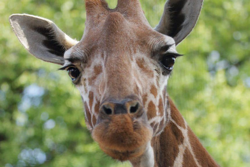 жираф Луга