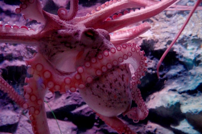 океанариум, осьминог