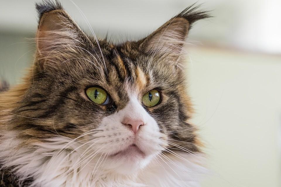 кот кошка мейнкун мейн-кун