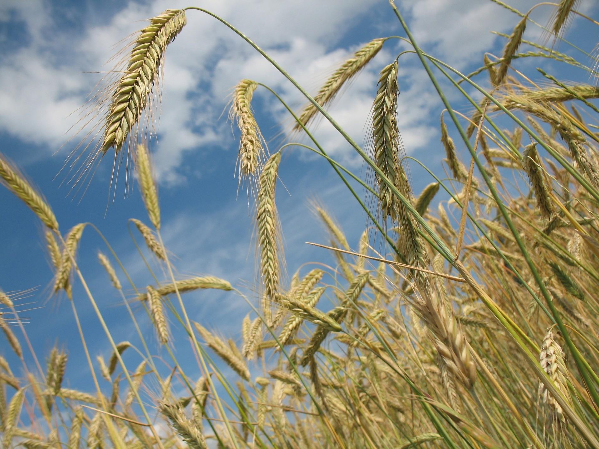 пшеница злаки зерно сельское хозяйство