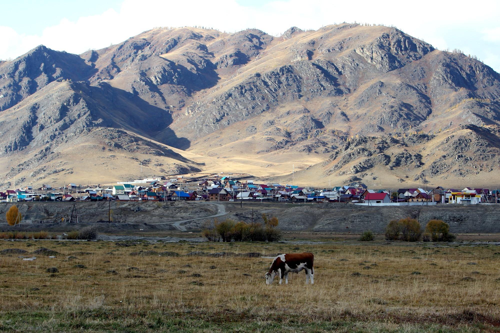 Сибирь Горный Алтай село Онгудай природа деревня корова пастбище сельское хозяйство