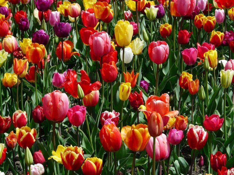 тюльпаны цветы счастье