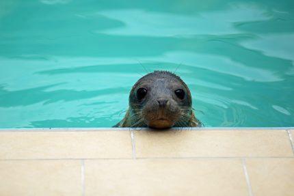 ластоногий тюлень нерпа