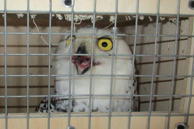 Белые совы и чёрные лебеди отправились из Петербурга в Республику Саха