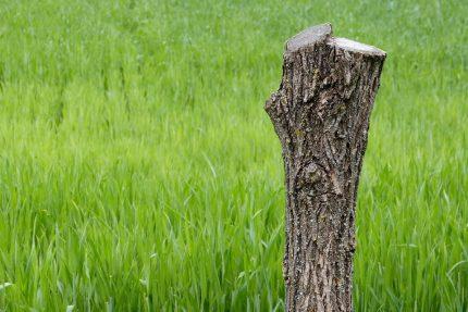 пень дерево спиленное