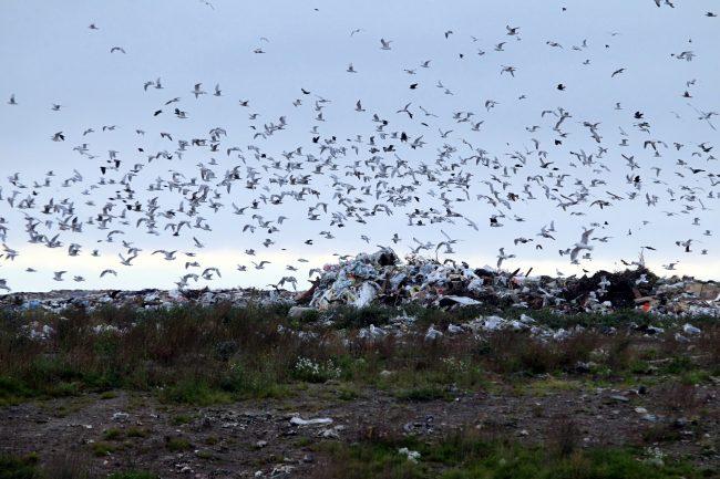 полигон ТКО Новоселки мусор отходы экология птицы