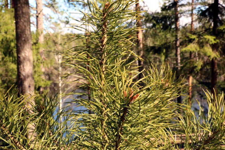 лес хвойные деревья зелёные насаждения экология