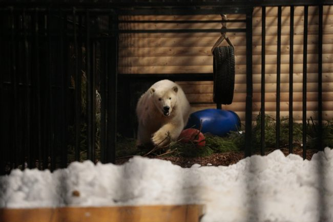 белый медвежонок Снежинки Ленинградский зоопарк